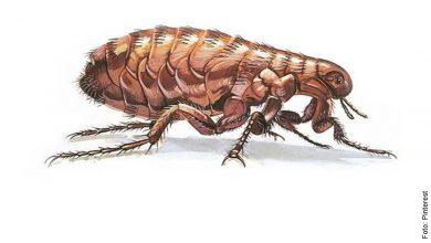 Lo que significa soñar con pulgas, ¡no te asustes!