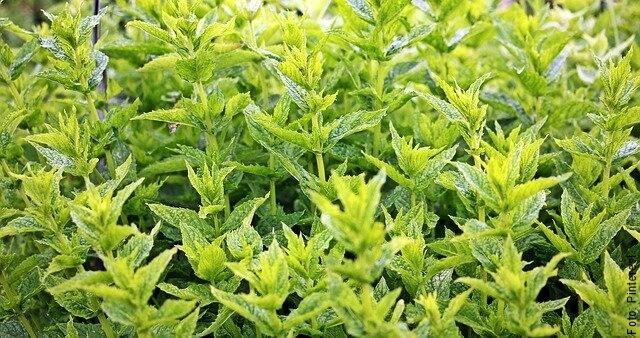 foto de hierbas aromáticas