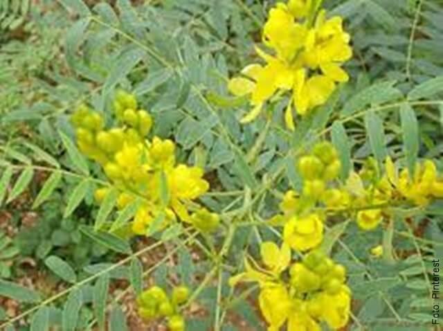 foto de la planta de sen