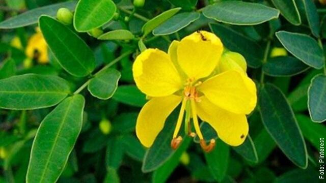 foto de flores y hojas de sen