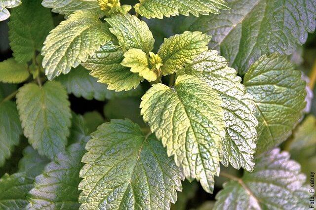 foto de toronjil hojas