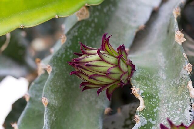 foto de planta de pitahaya