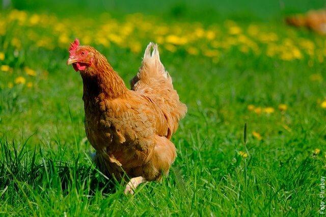 foto de gallina caminando