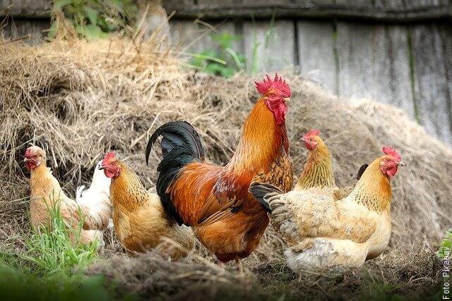 fotod e gallo con gallinas