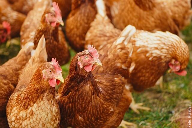 foto de varias galinas