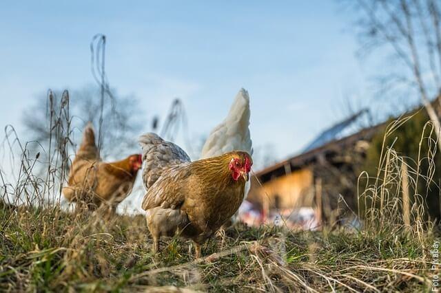 foto de 3 gallinas