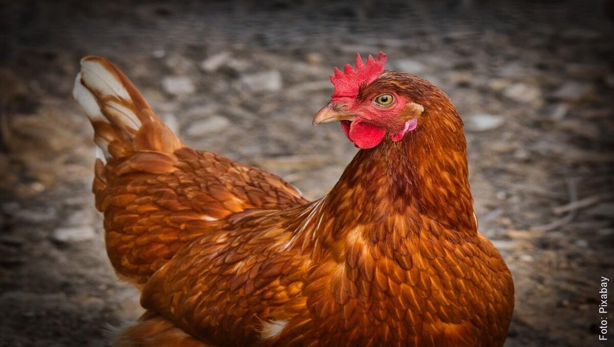¿Qué significa soñar con gallinas? Pon atención a tu familia
