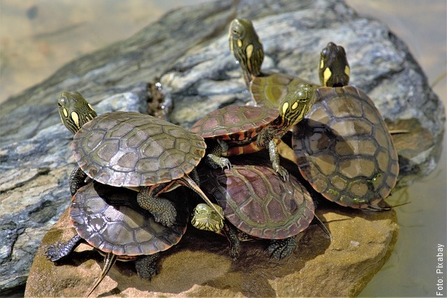 foto de muchas tortugas