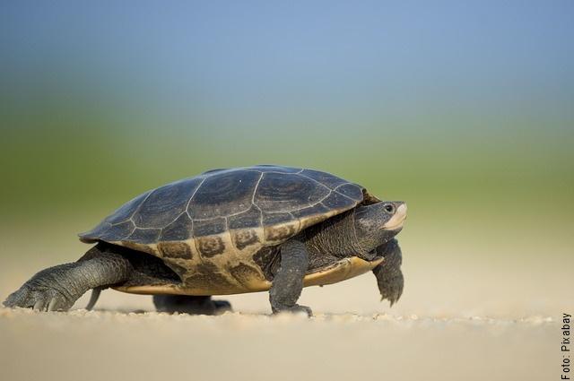 foto de una tortuga caminando
