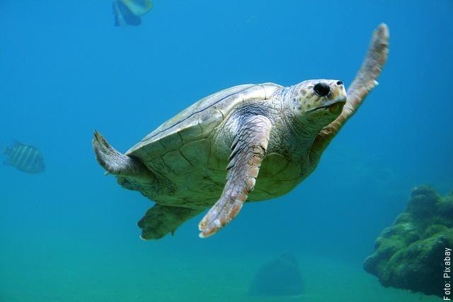 foto de tortuga nadando
