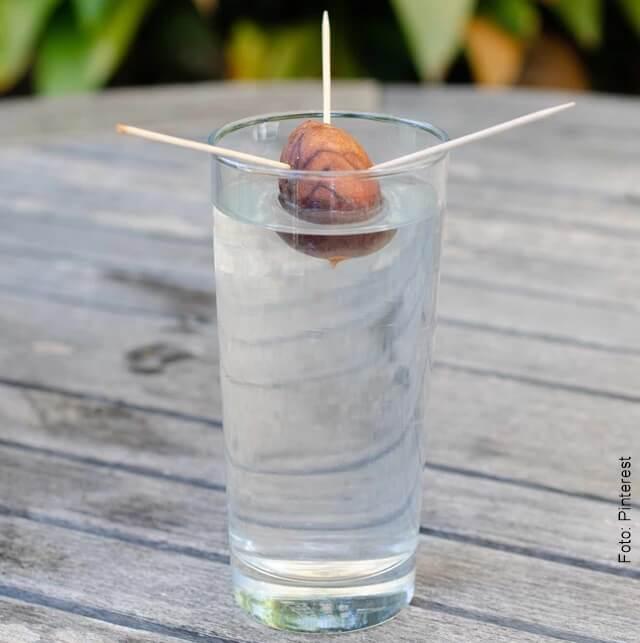 foto de cómo sembrar aguacate en casa