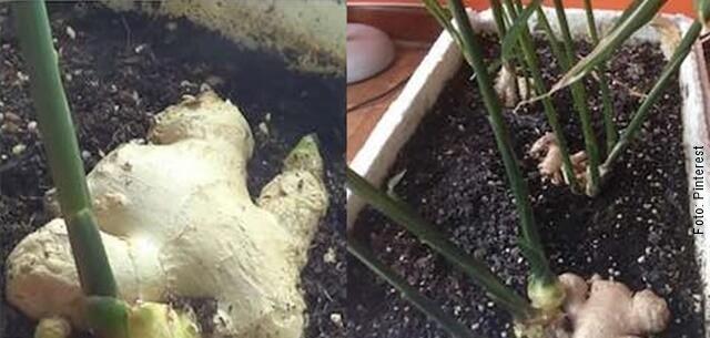 foto del proceso de siembra de jengibre