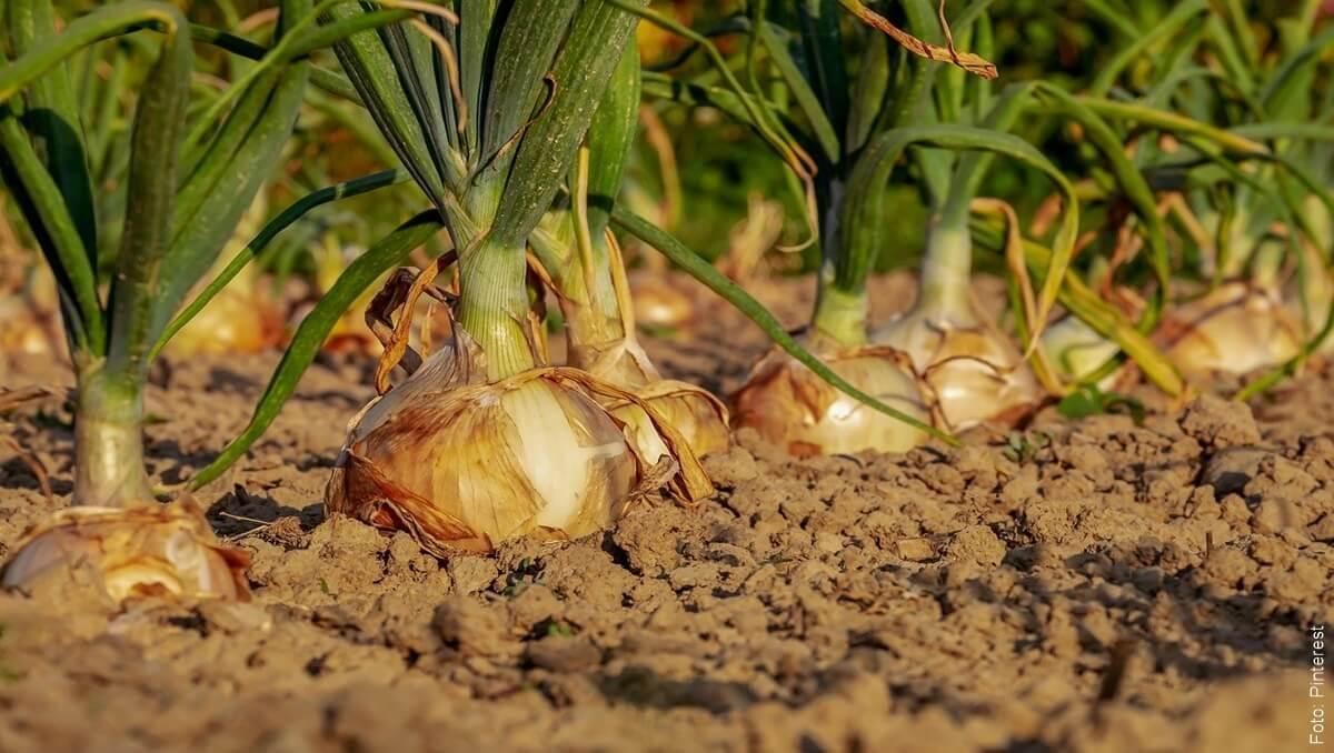¿Cómo cultivar cebolla en casa? Sazona tus comidas naturalmente