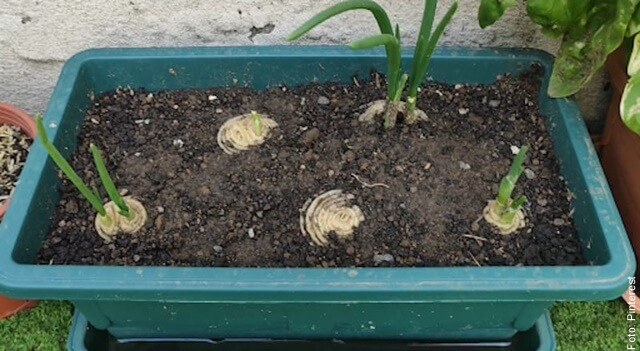 foto de cómo sembrar cebolla