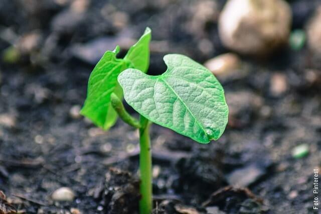 foto de planta de frijol germinando