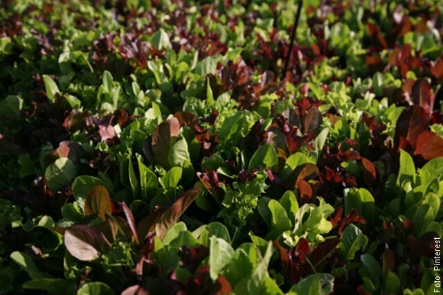 foto de semillero de lechuga