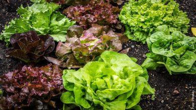 ¿Cómo sembrar lechugas en casa? Aliméntate saludablemente