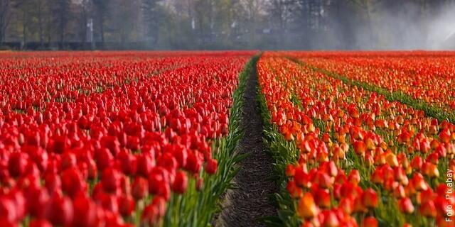 foto de cultivo de tulipanes