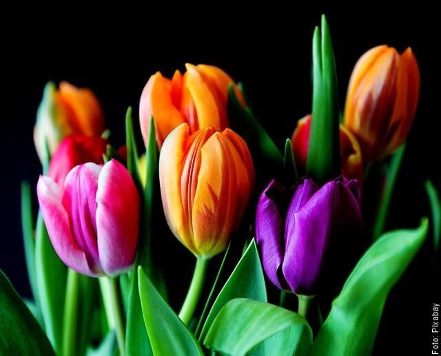 foto de tulipanes