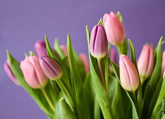 foto de tulipanes lila