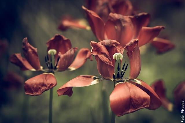 foto de tulipanes secos