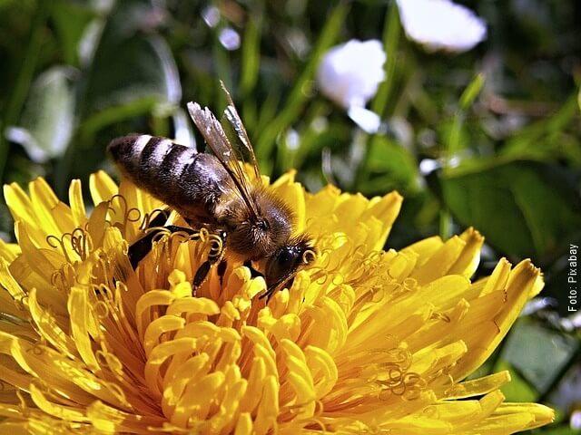 foto de diente de león con una abeja