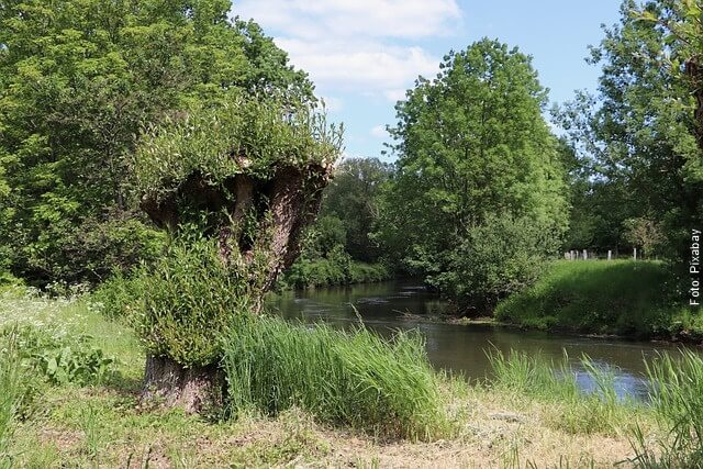 foto de árboles de sauco