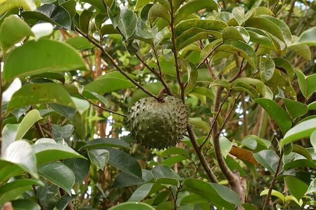 foto de guanábana en árbol