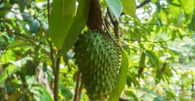 foto de guanábana