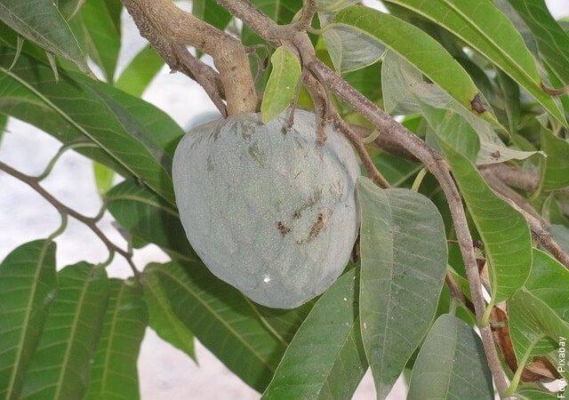 foto de guanábana en el árbol