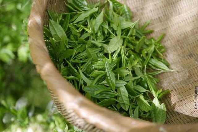 foto de hojas de té verde