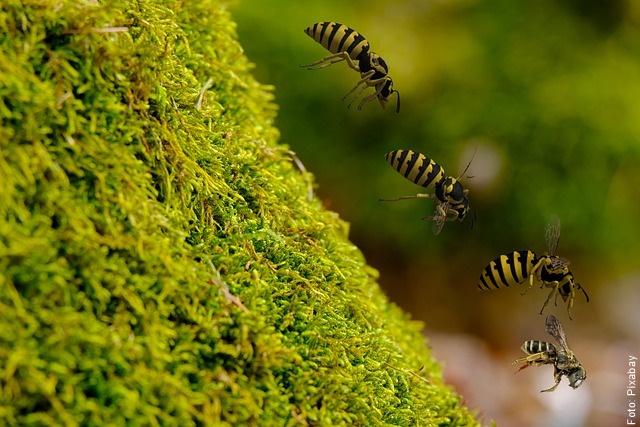 foto de avispas volando