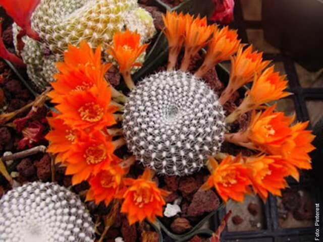 foto de cactos naranja