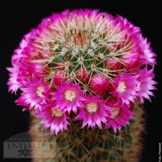 foto de cactus rosa