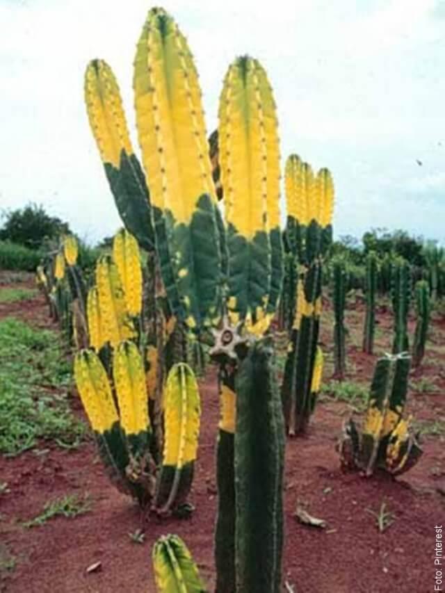 foto de cactus amarillo