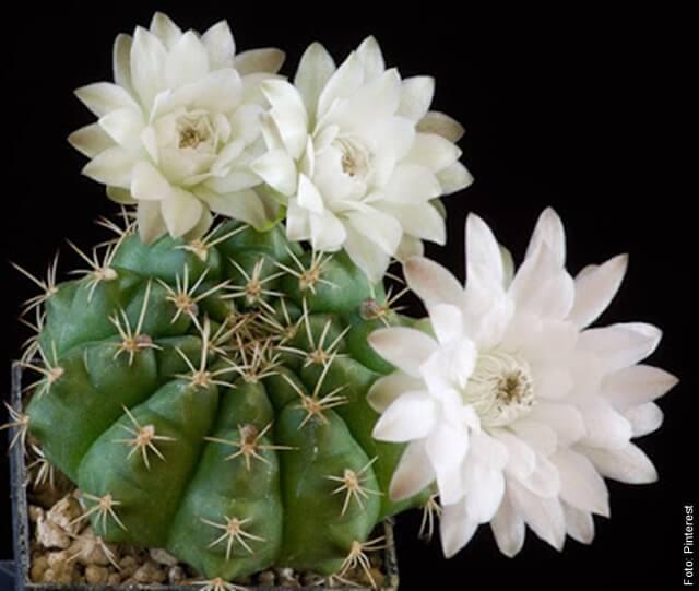 foto de cactus con flores blancas