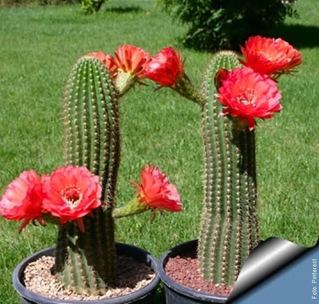 foto de cactus con flores rojas