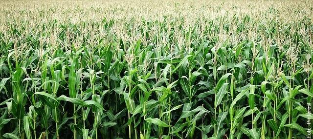 foto de cultivo de maíz