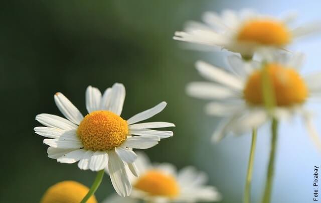 foto de flor de manzanilla