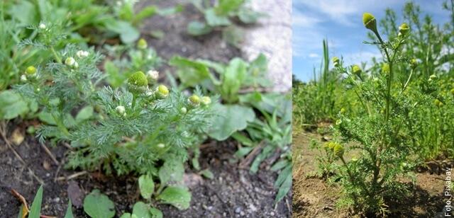 foto de como sembrar manzanilla