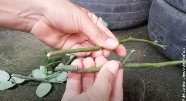 foto de cómo sembrar rosas