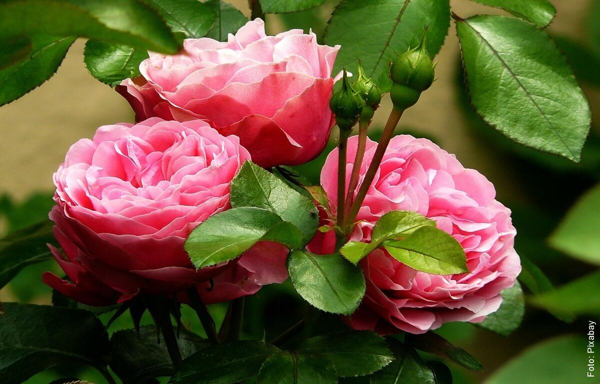 ¿Cómo sembrar rosas? ¡Que tu casa florezca siempre!