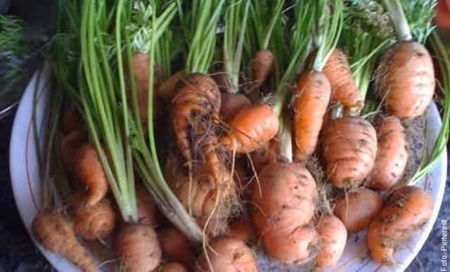 foto de zanahorias cosechadas