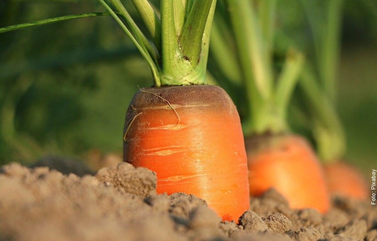 ¿Cómo sembrar zanahorias en casa? Ten siempre a la mano