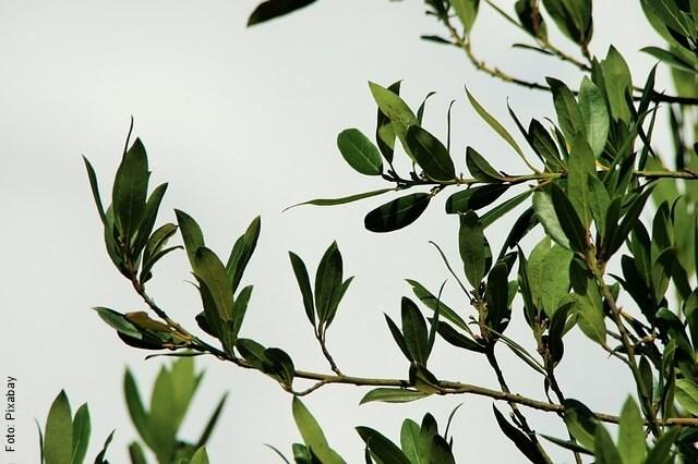 foto de ramas de laurel