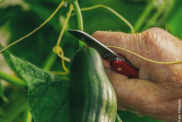 foto cosechando pepino