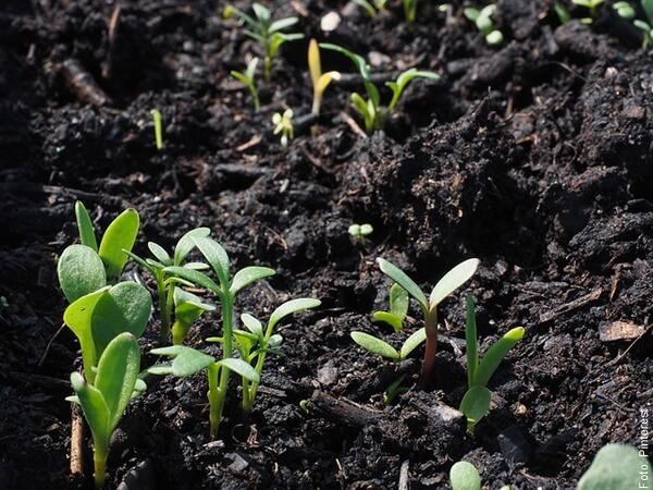 foto de plantas de pepino