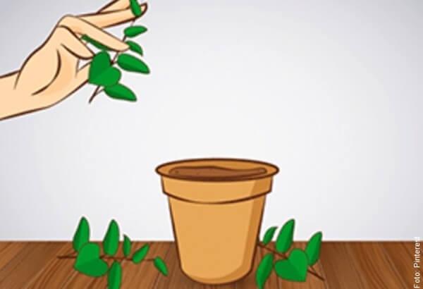 ilustración de cómo sembrar hierbabuena