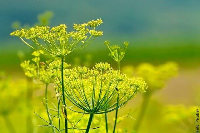 foto de flor de hinojo