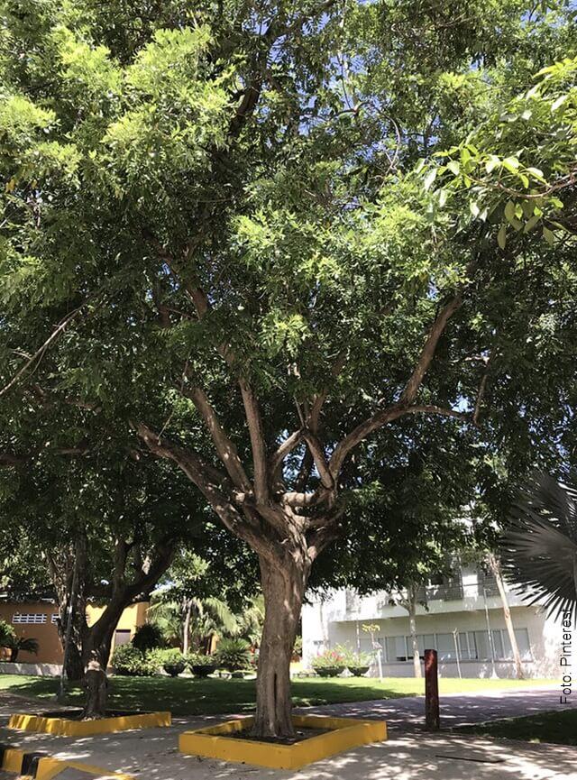 foto de árbol de matarratón